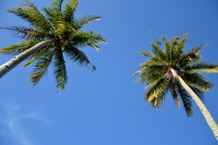 coconut tree agaist blue sky photo