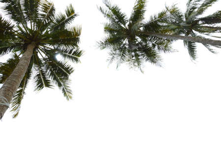 coconut tree isolated on white background photo