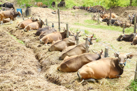 cattle breeding: the cows in cattle breeding Stock Photo