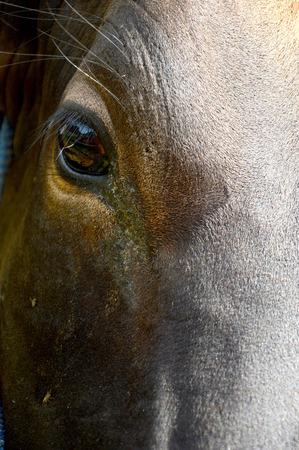 cattle breeding: close up of cow eye in cattle breeding