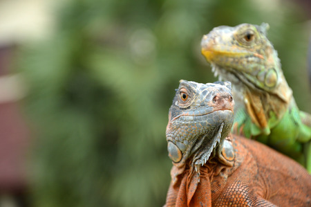 closeuo potrait of green and brown iguana photo