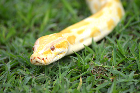 albino phyton on the grass photo