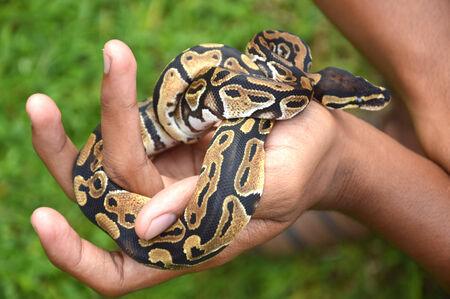 sliding scale: phyton snake on the hand man