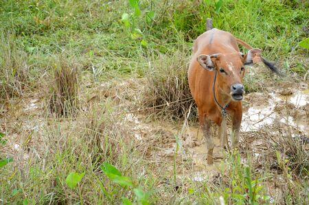 cattle breeding: a cow in cattle breeding