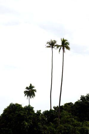coconut tree agaist blue sky photo