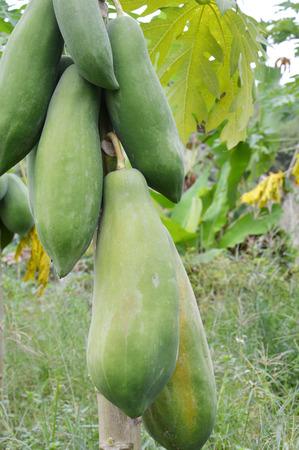 green papaya: green papaya fruit