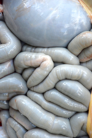 intestines: cow intestines in the abdomen Stock Photo