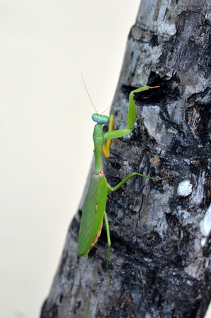 predatory insect: green mantis crawling on a tree