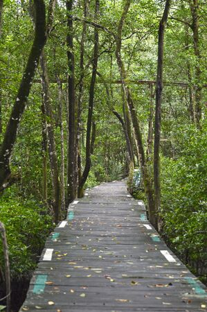 forest conservation: grove of mangrove trees in the mangrove forest conservation area