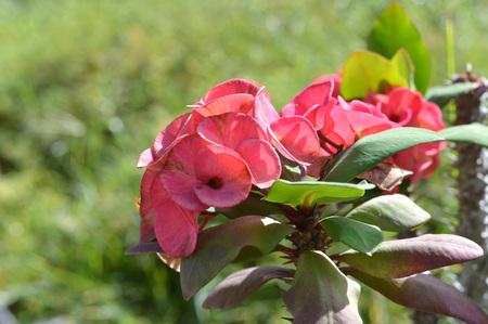 plantlet: Crown of thorns flowers  Euphorbia milli Desmoul
