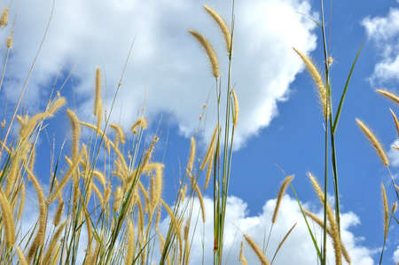 soggy: Weed grass against the sky Stock Photo