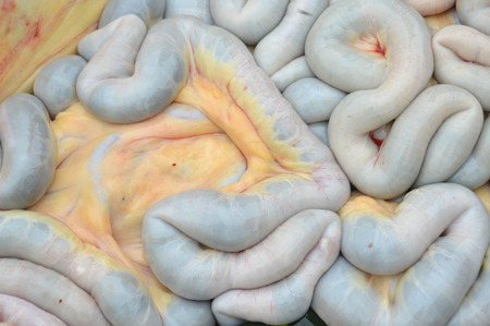 entrails stomach: cow intestines in the abdomen Stock Photo