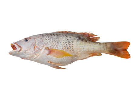 perca: perch or red fish isolated on white background