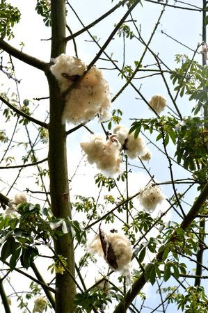 cottonwood tree: cottonwood tree