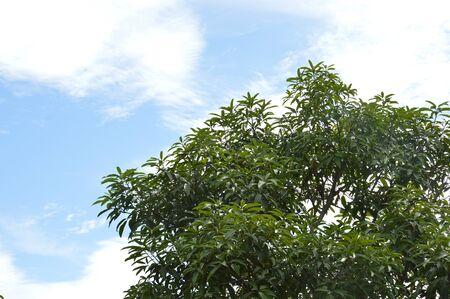tannins: Terminalia catappa tree against the sjy Stock Photo