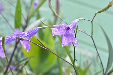 mauve: purple convolvulus sabatius Stock Photo