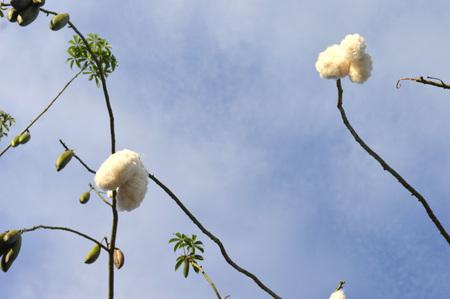 piece of Silk Floss Tree agaibst blue sky