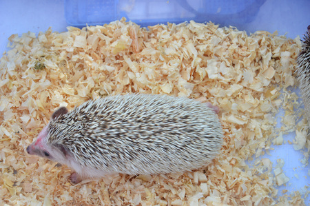 small hedgehog in the cage