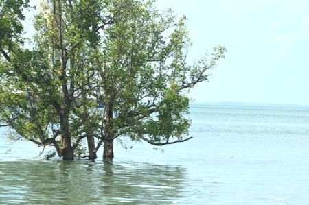 mangrove trees in the seaside 写真素材