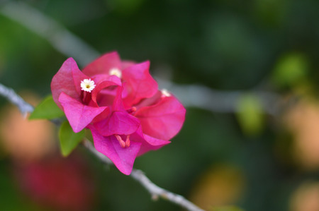 bougainvillea spectabilis in garden