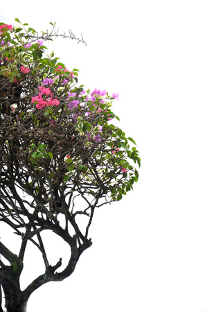 mini bougainvillea spectabilis tree on white background Banque d'images