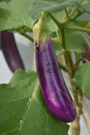 eggplant fruit plant in nature Stock Photo - 124979017