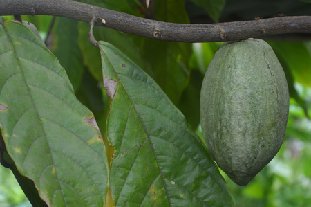 Cacao Tree (Theobroma cacao). Organic cocoa fruit pods in nature Stock Photo