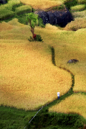 Beautiful Village panorama on South Sulawesi in the middle of yellowing rice fields