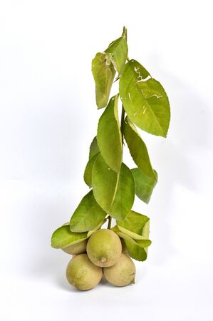 Sprig of fresh green lime (Citrus aurantiifolia) against white background Imagens