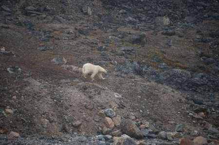 A polar bear (ursula maritimus) walks alone on a barren terrain of rocks and boulders.Shows effect of global warming as no snow or ice visible.Climate Crisis and Emergency.Image