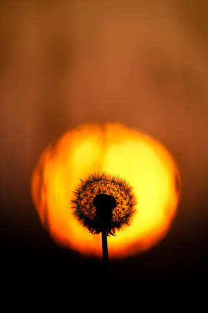 A full dandelion head is backlit by the dramatic glow of an orange sunset.The sun circle frames the flower head.Vertical Image