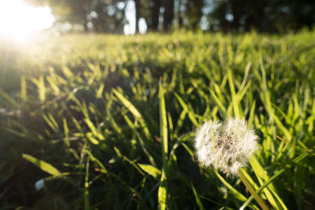 Close view of a dandelion head with bright sunlight.It is on an un mown woodland edge of woodland .Image Reklamní fotografie