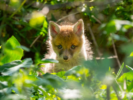 A young fox (vulpes vulpes) cub peers through green foliage with sunlight lighting his fur.Cute.