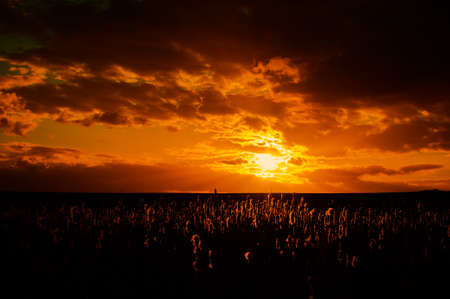 A dramatic orange sun sets over a reed bed with the reed heads back lit in the golden glow. Reklamní fotografie