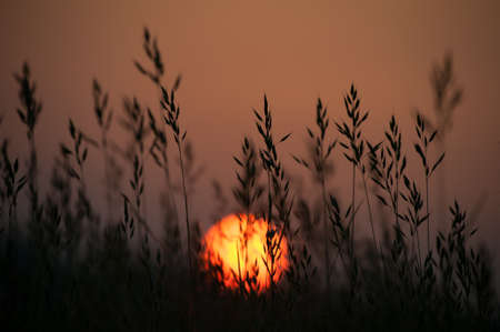 Silhouetted reed heads with a rising orange sun and salmon pink sky in the background.UK.Nature.Image