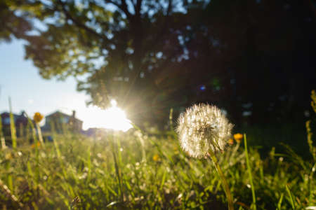 Close view of a dandelion head with bright sunlight and housing in background.It is on an un mown woodland edge of a green urban space.Image