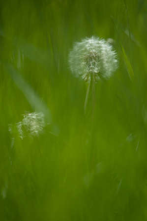 A deliberate soft focus image of a dandelion seed head in a green grassy meadow.Vertical Image