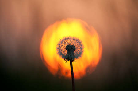 A full dandelion head is backlit by the glow of an orange sunset.The sun circle frames the flower head