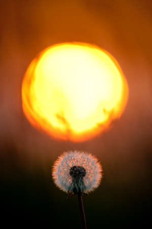 A full dandelion head is backlit by the glow of an orange sunset.Vertical.Image