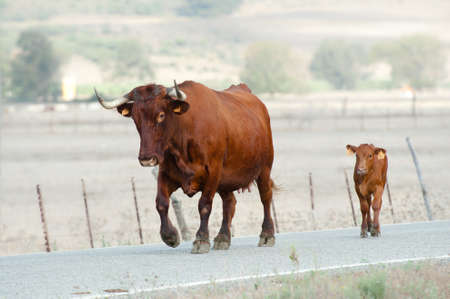 A stocky long horned mother cow leads her cute young calf along a road. Reklamní fotografie