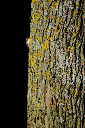 A treecreeper (Certhia familiaris) peers from the edge of a tree trunk which it is climbing