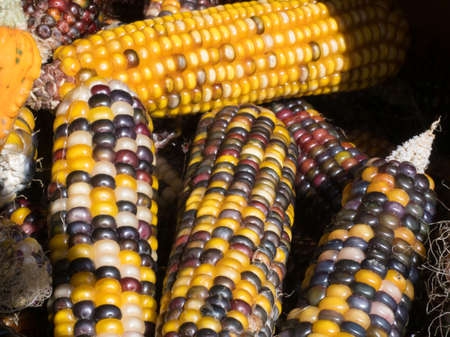 A variey of multi coloured sweet corn lie together.Close view Reklamní fotografie
