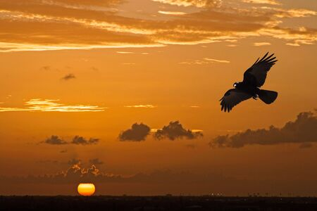 crow flying in front of a beautiful orange sun sunset