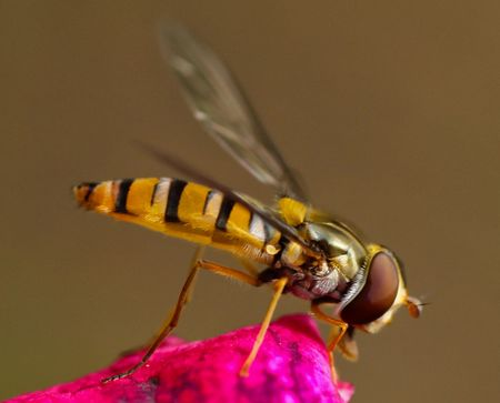 macro of a wasp on a pink petal Stock Photo