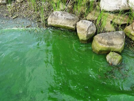 Coast of lake full of green algae and cyanobacteria