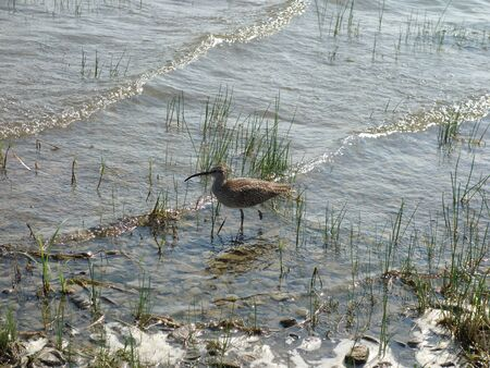 Eurasian Curlew on the beach by a lake with one foot