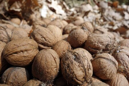 Walnuts in the forest