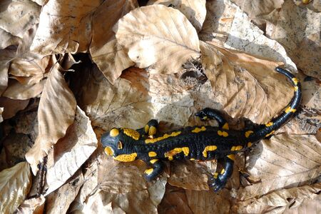 Salamandra in forest