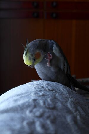 The cockatiel communicates with its own leg