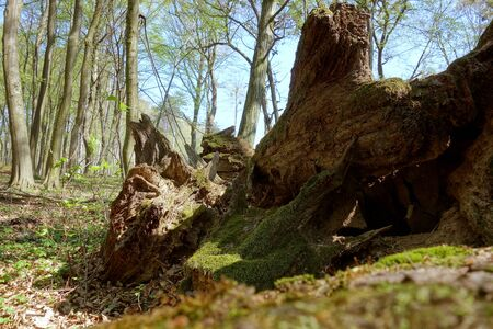 Fallen old tree in untouched forest